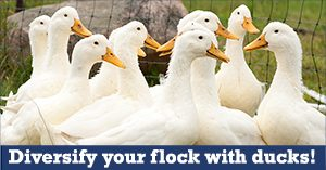 Diversify your flock with ducks!
