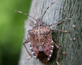 Summer bugs brown marmorated stink bug