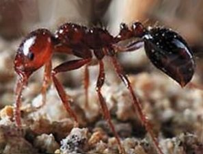 Summer bugs Fire Ants RIFA