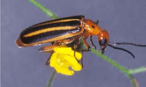 Summer bugs blister beetle