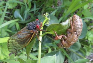 Summer bugs Magicicada Cicada