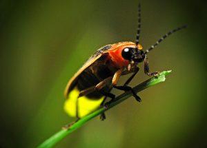 Summer bugs firefly